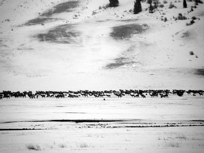 Photograph - Elk Herd by David Bearden