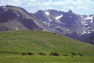 Elk Herd In The Rockies Original