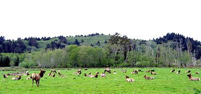 Photograph - Elk Herd by Will Borden