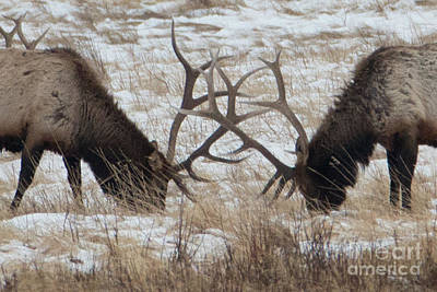 Photograph - Elk Horns by Loriannah Hespe