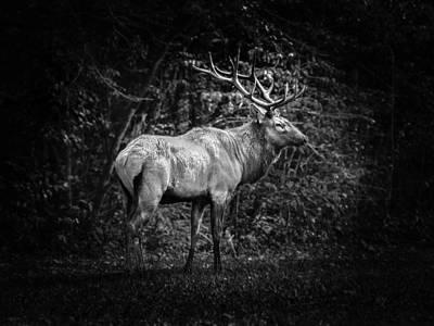 Photograph - Elk II In Black And White by Debra and Dave Vanderlaan