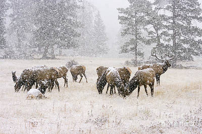 Photograph - Elk In A Snow Storm - 1135 by Jerry Owens
