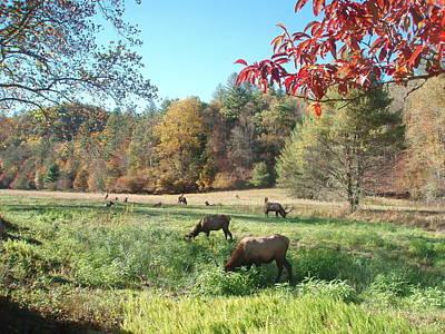 Photograph - Elk In Cataloochee by Allen Nice-Webb