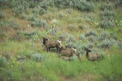 Photograph - Elk In Meadow by Patricia Dennis