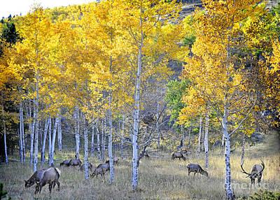 Elk In Rmnp Colorado Art Print