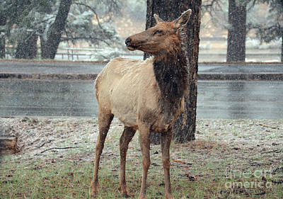 Photograph - Elk In The Snow by Debby Pueschel