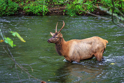 Photograph - Elk In The Stream 2 by Tim Stanley