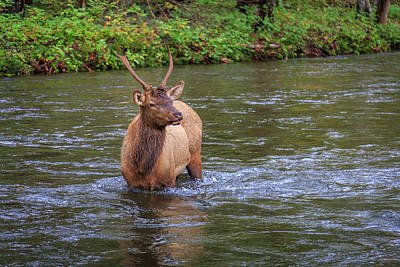 Photograph - Elk In The Stream 3 by Tim Stanley