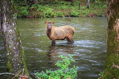 Photograph - Elk In The Stream by Tim Stanley