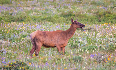 Photograph - Elk In The Wildflowers by Loree Johnson