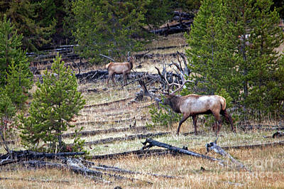 Photograph - Elk In Yellowstone by Cindy Murphy - NightVisions