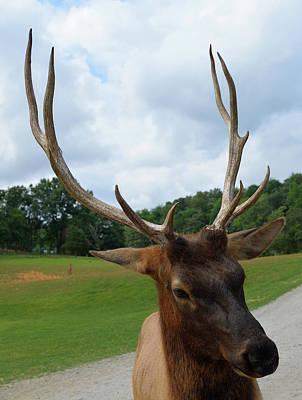 Photograph - Elk by Karen Harrison