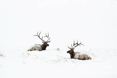 Photograph - Elk Laying In A Snow Covered Meadow - 9069 by Jerry Owens