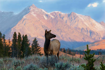 Photograph - Elk Majesty by Mark Miller