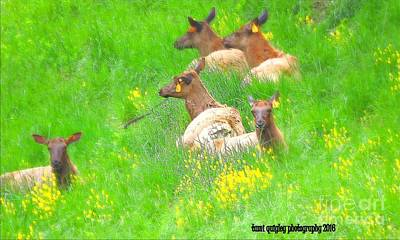 Photograph - Elk On The Spring Range  by Tami Quigley