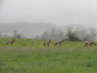 Photograph - Elk on Winslow Hill, Benezette, PA by David Witoslawski