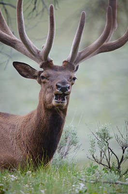 Photograph - Elk Portrait by Crystal Wightman