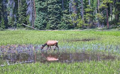 Photograph - Elk Reflection In Yellowstone by Dan Sproul