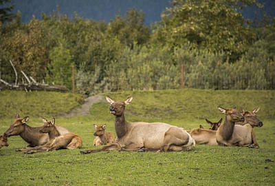Robin Williams Photograph - Elk by Robin Williams