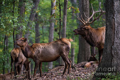 Photograph - Elk Romance by Andrea Silies