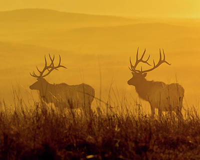 Photograph - Elk Silhouette by Jay Stockhaus