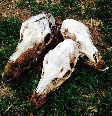 Photograph - Elk Skulls by Erika Chamberlin
