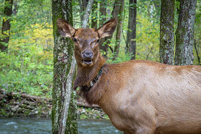 Photograph - Elk In The Woods 2 by Tim Stanley
