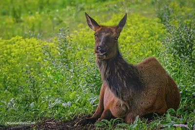 Photograph - Elk Wapiti  by LeeAnn McLaneGoetz McLaneGoetzStudioLLCcom