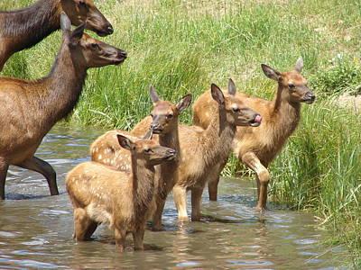 Elk Water Babies In Evergreen Colorado Art Print