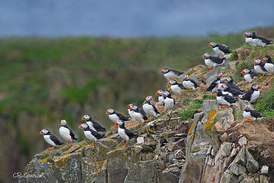 Photograph - Elliston Puffin Colony by CR  Courson