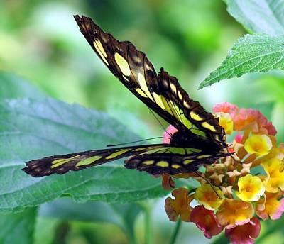 Elusive Butterfly Art Print by Betty Buller Whitehead