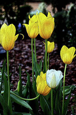 Photograph - Embossed Yellow And White Tulips by Sheila Brown
