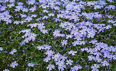 Photograph - Emerald Blue Creeping Phlox by Dan De Ment