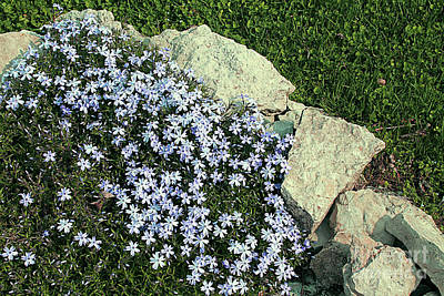 Photograph - Emerald Blue Phlox In A Corner by Dan De Ment