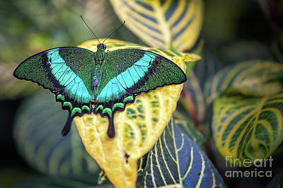 Photograph - Emerald Peacock by Gene Healy