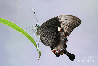 Photograph - Emerald Peacock Swallowtail Butterfly V2 by Judy Whitton