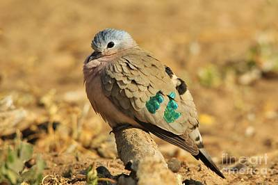 Photograph - Emerald Spotted Dove - Puff Of Green by Hermanus A Alberts