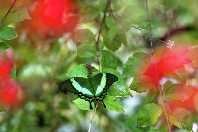 Photograph - Emerald Swallowtail And Red Flowers by Jenny Rainbow