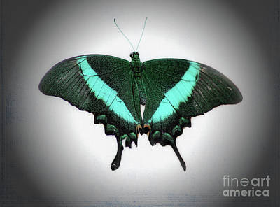 Photograph - Emerald Swallowtail Butterfly by Karen Adams
