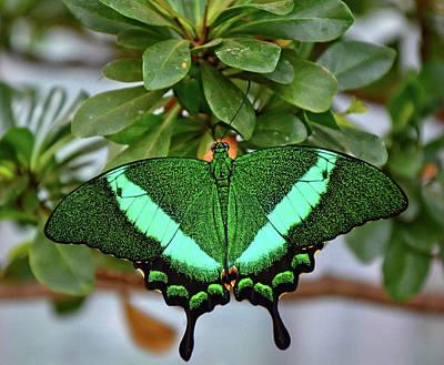 Emerald Swallowtail Butterfly Art Print