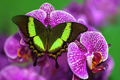 Photograph - Emerald Swallowtail On Purple Orchid. Beauty In Frame 1 by Jenny Rainbow