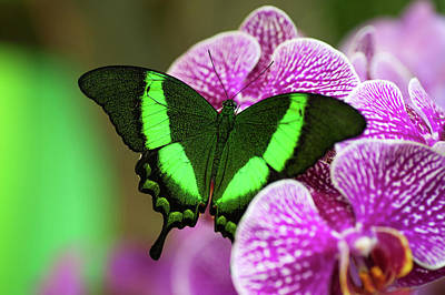 Royalty-Free and Rights-Managed Images - Emerald Swallowtail On Purple Orchid. Beauty In Frame 2 by Jenny Rainbow
