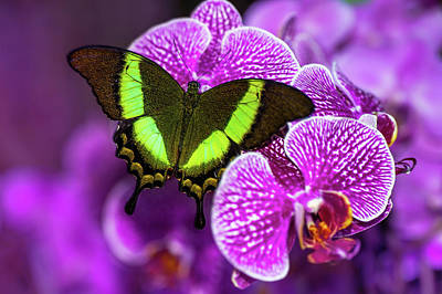 Photograph - Emerald Swallowtail On Purple Orchid. Beauty In Frame by Jenny Rainbow
