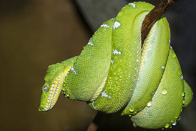 Photograph - Emerald Tree Boa by Windy Corduroy