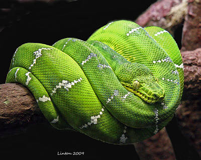 Emerald Tree Snake Art Print