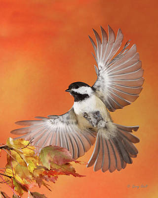 Chickadee Photograph - Emergency Landing by Gerry Sibell