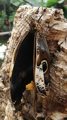 Photograph - Emerging Butterfly Chrysalis Art by Sheila Mcdonald