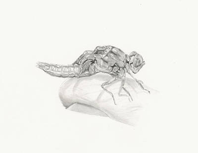 Drawing - Emerging Dragonfly - The Fishing Life by Marsha Karle