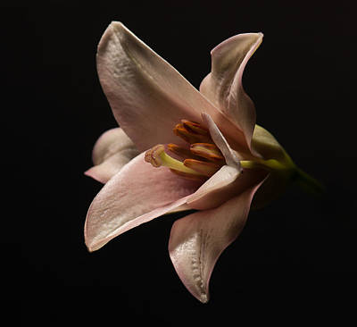 Photograph - Emerging Lilly by Len Romanick