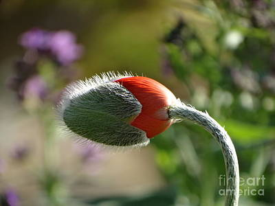 Photograph - Emerging Orange Poppy by Rebecca Overton